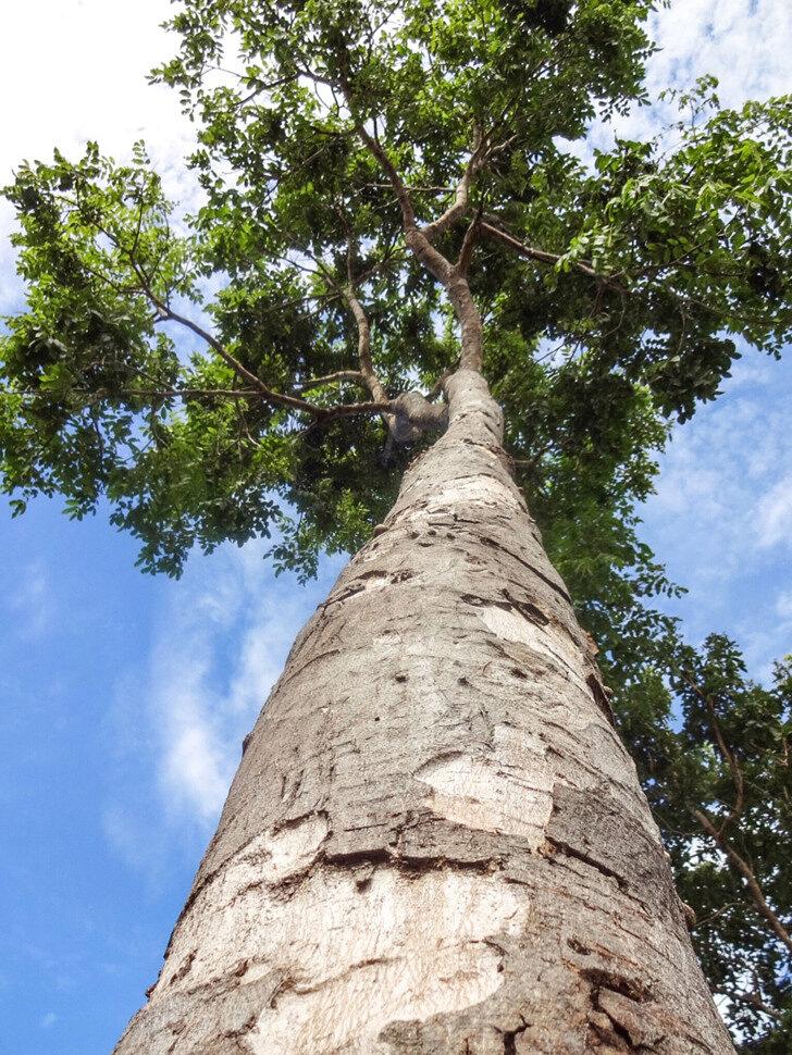 Гонкало альвес, Тигровое дерево